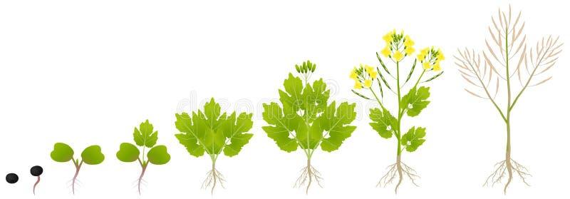 Ciclo di crescita di una pianta di un canola isolato su un fondo bianco illustrazione vettoriale