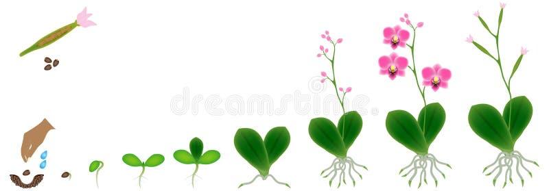 Ciclo di crescita di una pianta di un'orchidea isolata su un fondo bianco illustrazione vettoriale