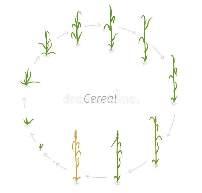 Ciclo di vita circolare dei raccolti agricoli del chicco di grano Pianta del grano o della segale Illustrazione di vettore Secale royalty illustrazione gratis
