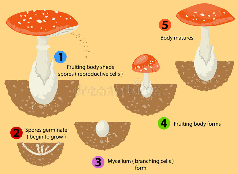 Ciclo di vita dei funghi illustrazione di stock