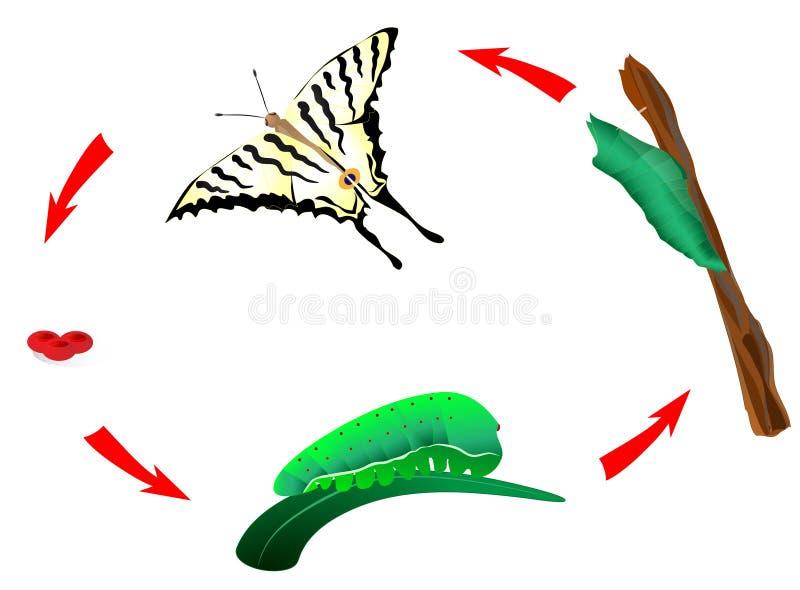Ciclo di vita della farfalla. Metamorfosi illustrazione di stock