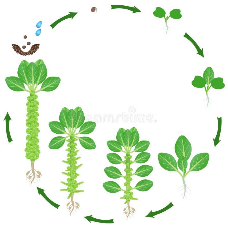 Ciclo di vita della pianta dei cavolini di Bruxelles su un fondo bianco illustrazione vettoriale