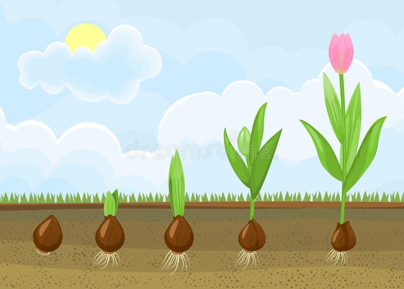 Ciclo di vita della pianta del tulipano Fasi di crescita dalla lampadina alla pianta di fioritura adulta royalty illustrazione gratis