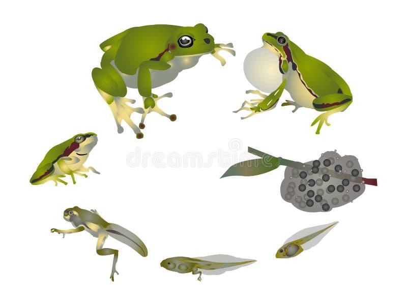 Ciclo di vita della rana di albero europea illustrazione di stock