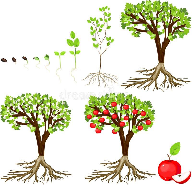 Ciclo di vita di di melo royalty illustrazione gratis