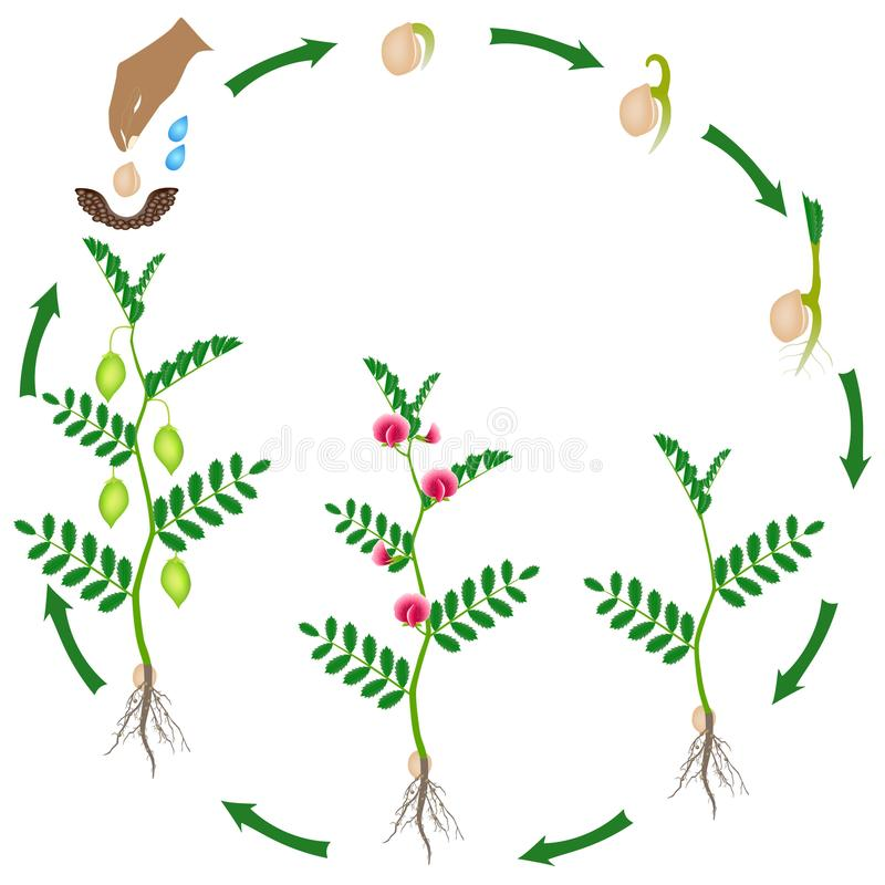 Ciclo do crescimento de uma planta de grão-de-bico em um fundo branco ilustração do vetor