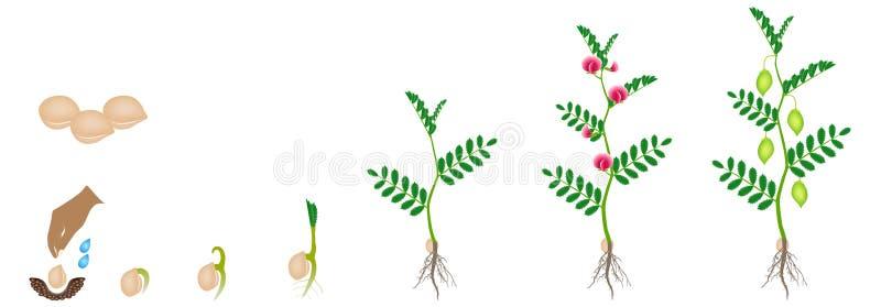 Ciclo do crescimento de uma planta de grão-de-bico isolada em um fundo branco ilustração do vetor