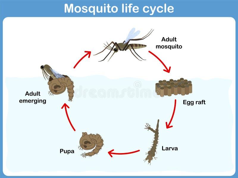 Ciclo do vetor do mosquito para crianças ilustração do vetor