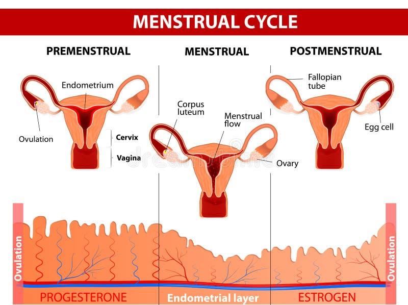 Ciclo mestruale illustrazione vettoriale