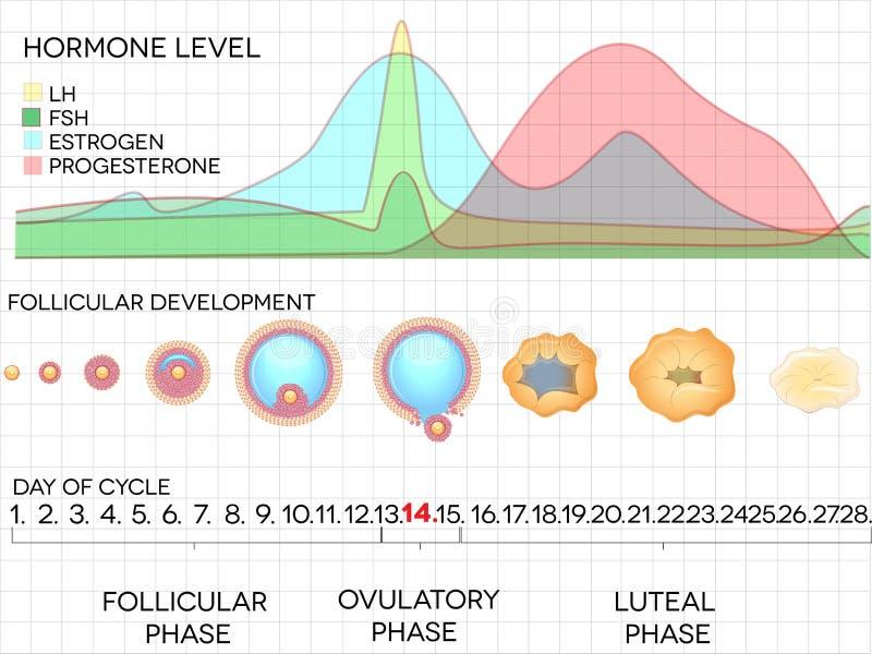 Ciclo mestruale, processo di ovulazione e livelli di ormone femminili royalty illustrazione gratis