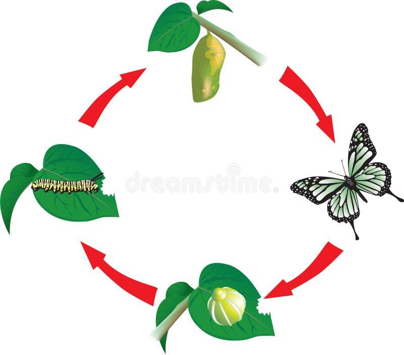 Ciclo vital de la mariposa ilustración del vector