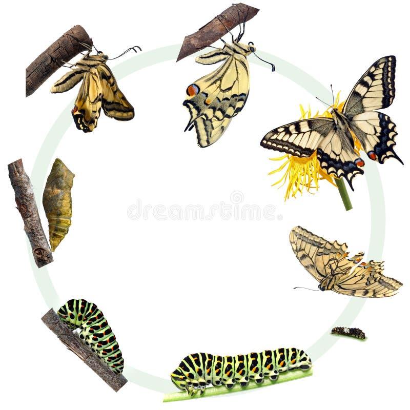 Ciclo vital de la mariposa de Swallowtail ilustración del vector