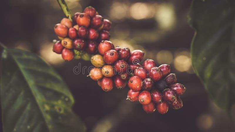 Ciclo vital de una semilla del café imagen de archivo