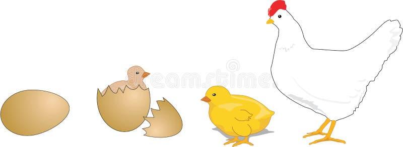 Ciclo vital del pollo libre illustration