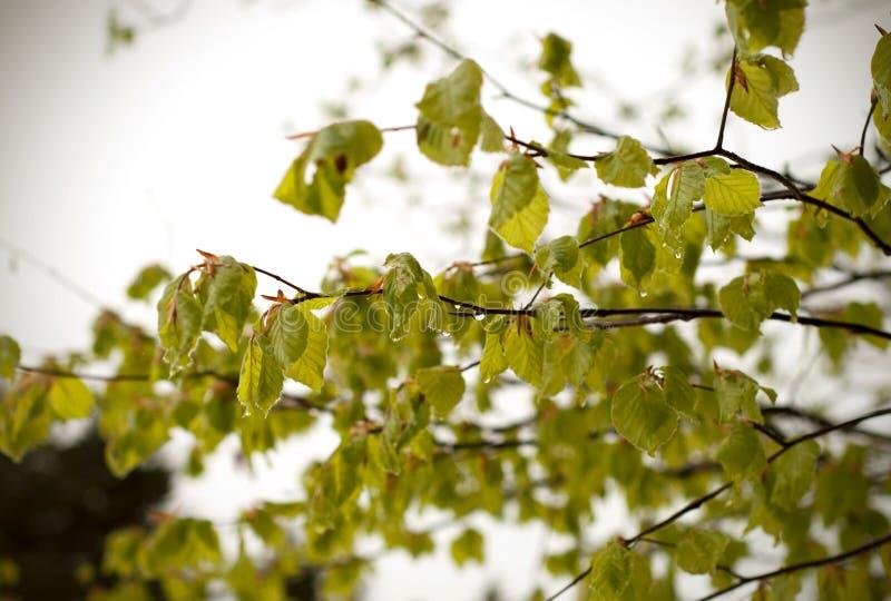 Ciclone da neve em abril Folhas verdes das árvores cobertas com a neve fotos de stock