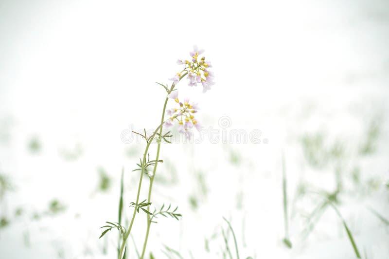 Ciclone da neve em abril Neve sobre flores de floresc?ncia do campo ilustração royalty free