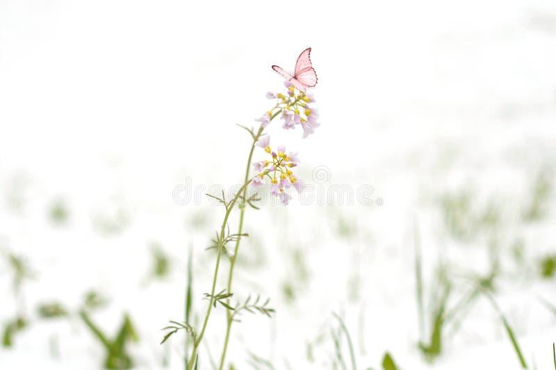 Ciclone da neve em abril Neve sobre flores de floresc?ncia do campo vista Fim-ul de flores cor-de-rosa pequenas imagens de stock royalty free