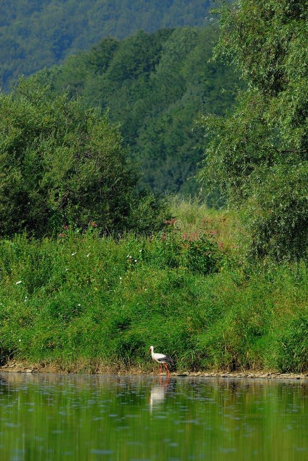 Cicogna bianca (ciconia di Ciconia) immagini stock libere da diritti