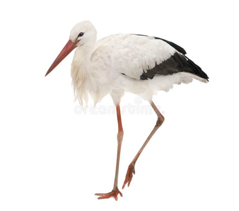 Cicogna bianca - ciconia di Ciconia (18 mesi) immagini stock libere da diritti
