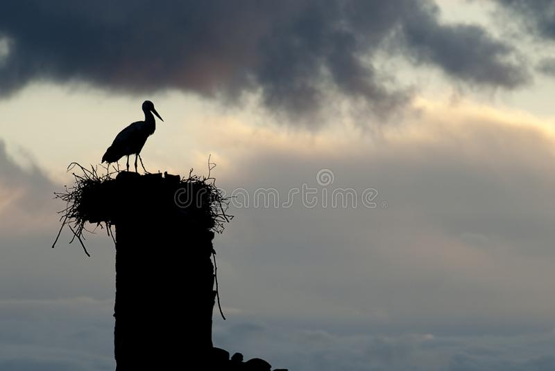 Cicogna bianca nel suo ciconia di Ciconia del nido fotografie stock libere da diritti