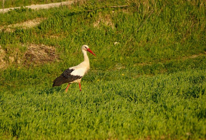 Cicogna che cammina nel campo fotografie stock