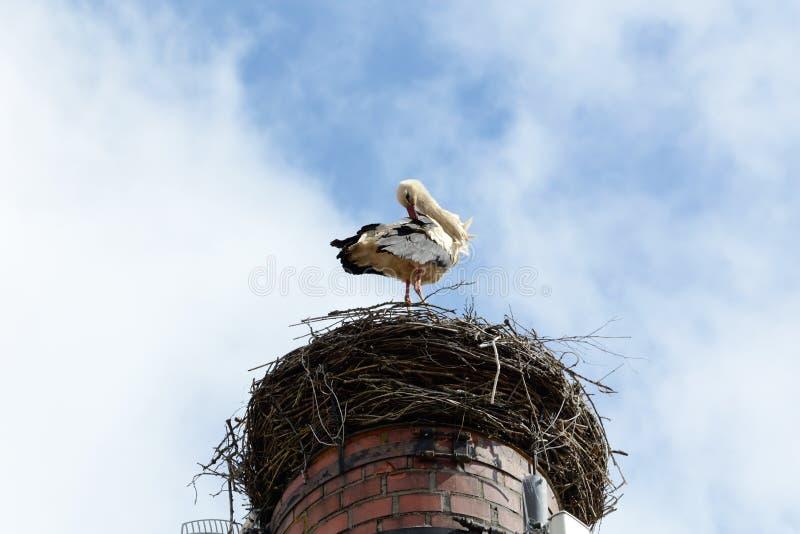 Cicogna che si agghinda nel nido fotografie stock libere da diritti