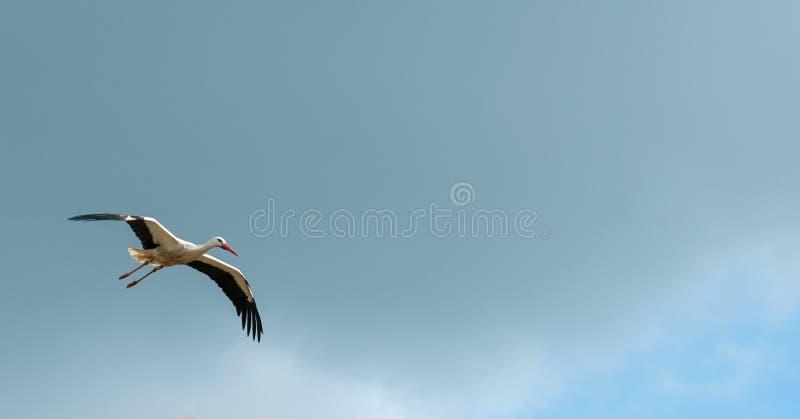 Cicogna di volo fotografia stock libera da diritti