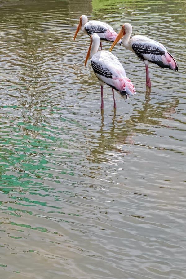 Cicogna dipinta, leucocephalus dell'ibis fotografia stock