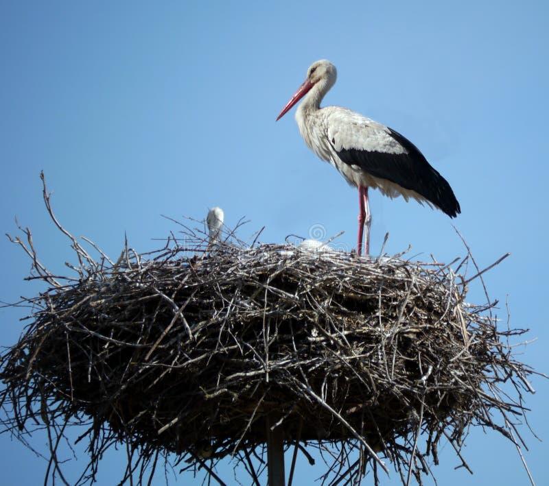 Cicogna nel suo nido immagine stock libera da diritti