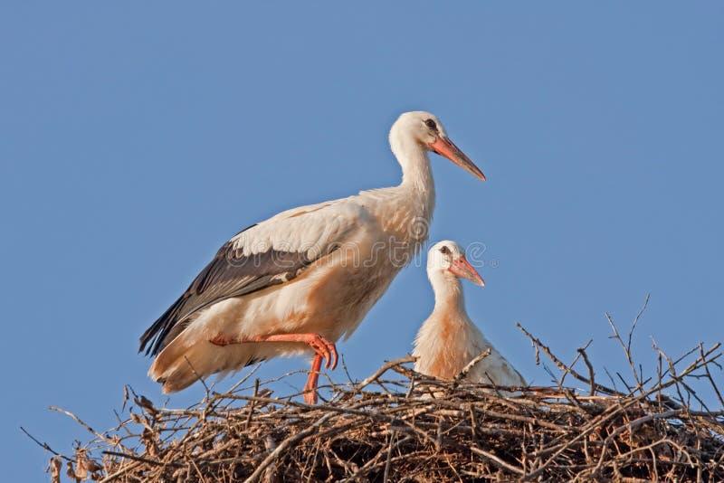 Cicogne bianche sul nido fotografie stock libere da diritti