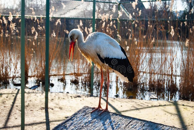 Ciconia di Ciconia del albă di Barza fotografia stock