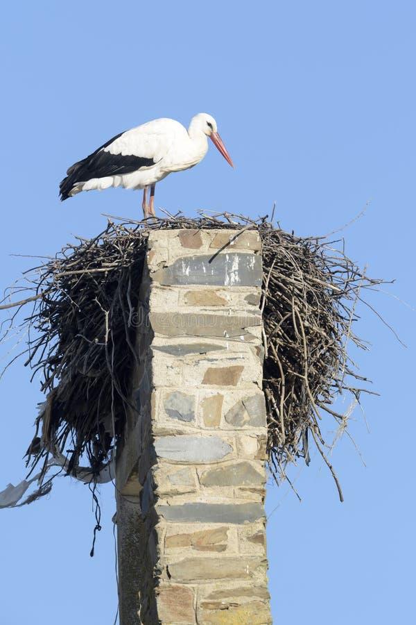 Ciconia di Ciconia della cicogna bianca al nido, immagini stock libere da diritti