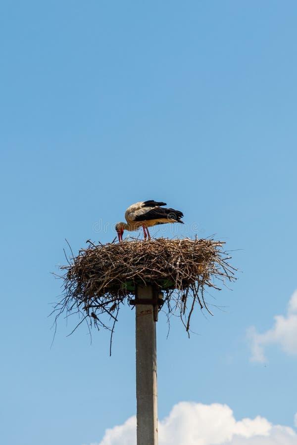 Ciconia di Ciconia della cicogna bianca nel nido fotografia stock
