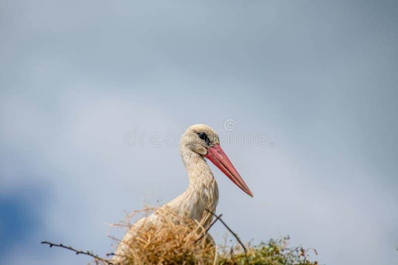 Ciconia di Ciconia della cicogna bianca nel nido contro cielo blu fotografie stock