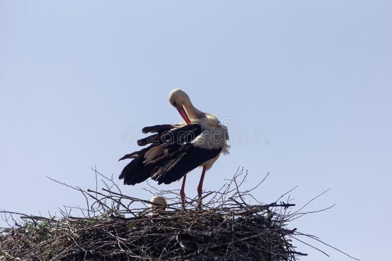 Ciconia di Ciconia della cicogna bianca sul nido immagine stock