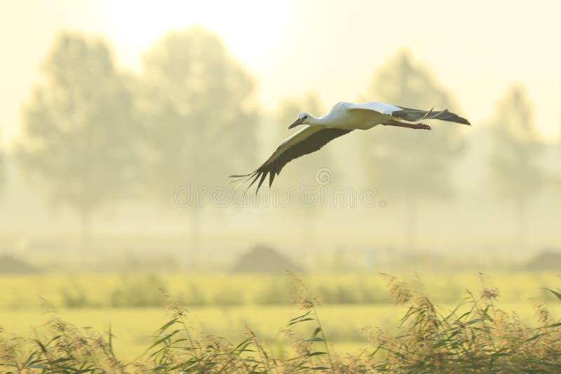 Ciconia die van ooievaarsciconia tijdens de vlucht op landbouwgrond op zonsondergang landen royalty-vrije stock fotografie