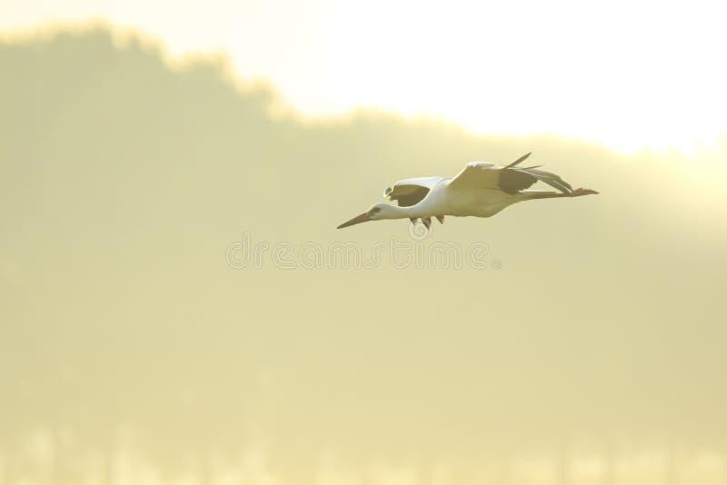Ciconia die van ooievaarsciconia tijdens de vlucht op landbouwgrond op zonsondergang landen royalty-vrije stock foto's