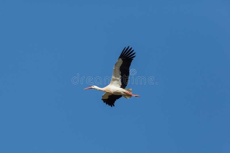 Ciconia volante di Ciconia della cicogna bianca in cielo blu fotografia stock libera da diritti