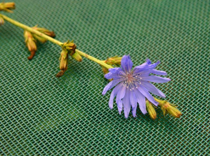 Download Cicoria fotografia stock. Immagine di botanico, aperto - 205200