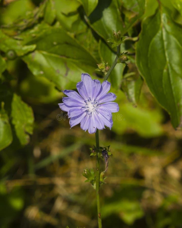 Cicoria comune, intybus del Cichorium, fiore sul gambo con la macro vaga del fondo, fuoco selettivo, DOF basso fotografie stock