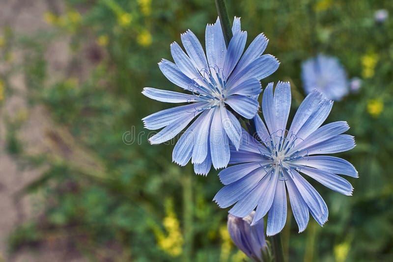 Cicoria del fiore dopo pioggia fotografie stock