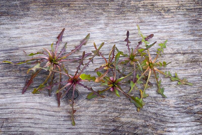 Cicoria selvatica (intybus) del Cichorium, pianta commestibile dei campi, foragi immagini stock