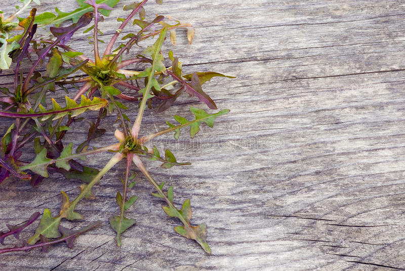Cicoria selvatica (intybus) del Cichorium, pianta commestibile dei campi, foragi fotografia stock libera da diritti