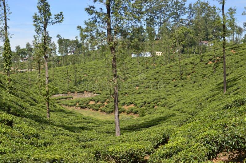 Cień w herbacianym ogródzie fotografia stock