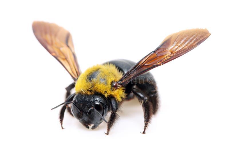 Cieśla pszczoły Xylocopa obraz stock