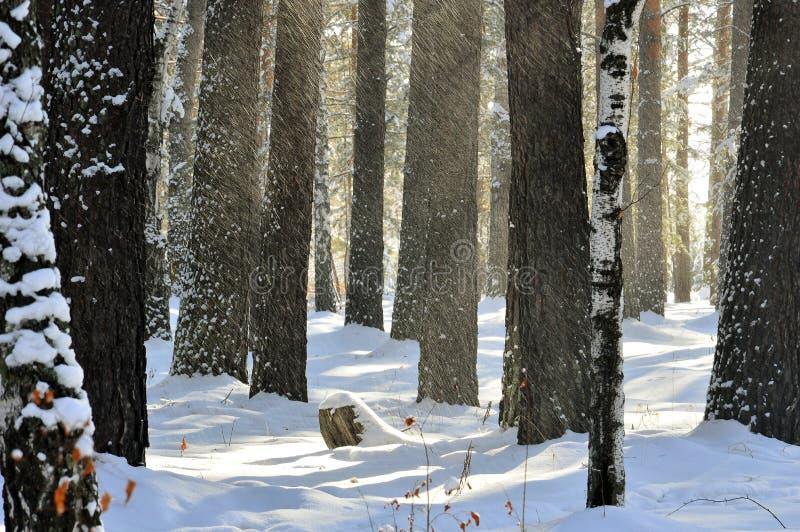 ` Cieco della neve del ` Neve inondata dagli alberi Illuminato dal sole fotografia stock libera da diritti