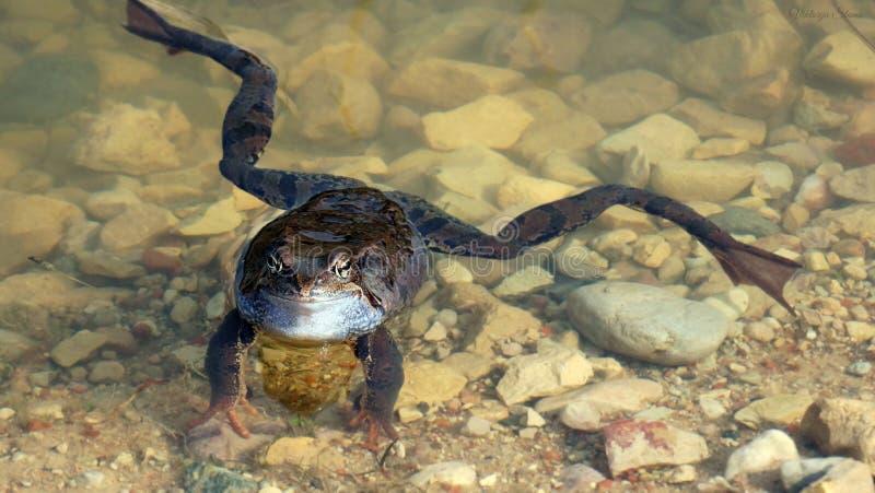Ciekawa żaba w jasnym nawadnia zdjęcie stock