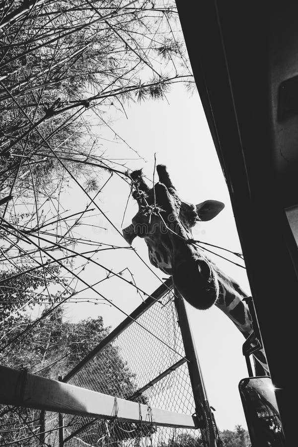 ciekawa żyrafa obrazy royalty free