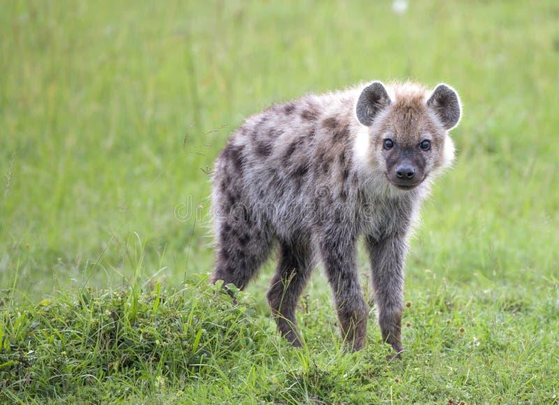 Ciekawa dziecko hiena zdjęcia stock