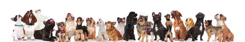 Ciekawa grupa mieszani psy z bowties i kołnierzami obraz stock
